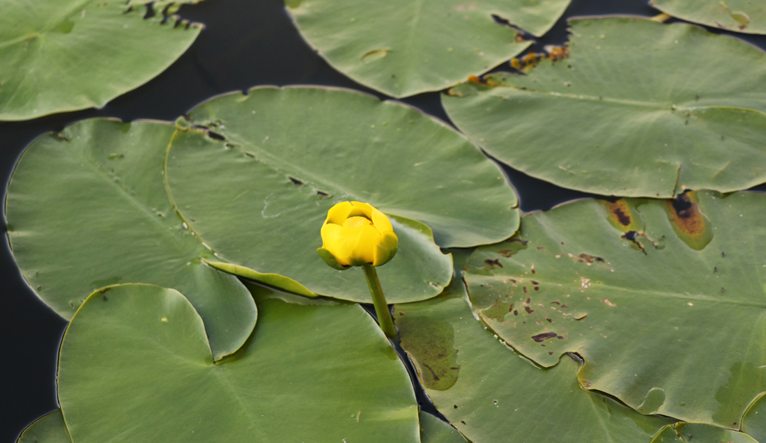 A bright yellow water lily.